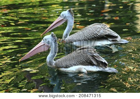Pelican Birds On The Autumn Lake