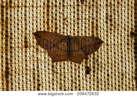 The Noctuidae commonly known as Owlet moths or cutworms
