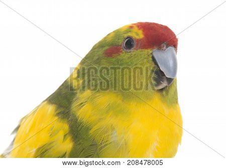 Red-fronted Kakariki parakeet in front of white background