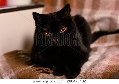 black cat on a cream cover on sofa