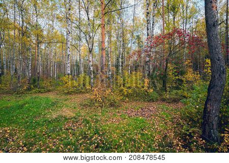 Autumn Landscape In The Woods With Red Ash.