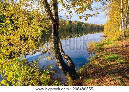 Birch With Yellow Leaves Near The Water . Autumn Landscape
