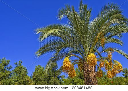 Green palm with a date fruits on a blue sky. Antalya Turkey.