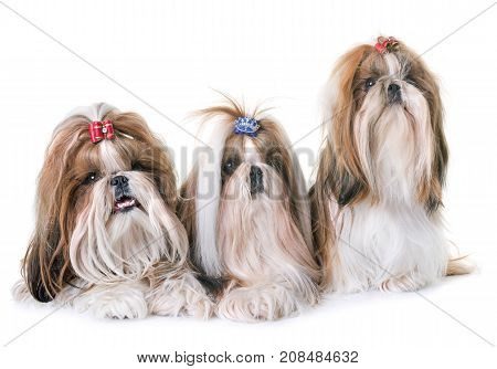 purebred shihtzu in front of white background