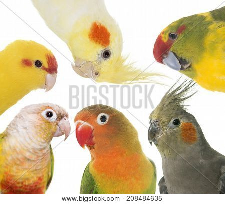 group of parakeet in front of white background