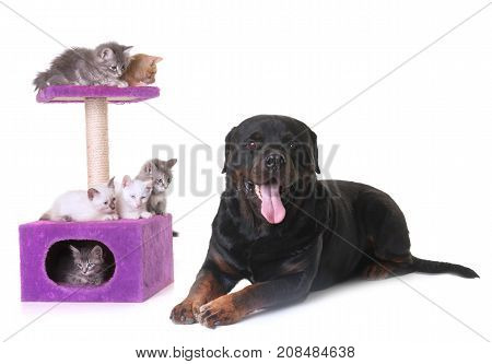 young kitten and rottweiler in front of white background