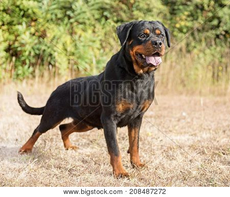 young purebred rottweiler staying in the nature