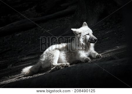 White Wolf On A Dark Background In The Forest.