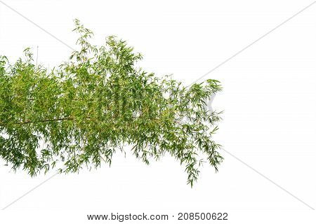 bamboo tree branch isolated on white background