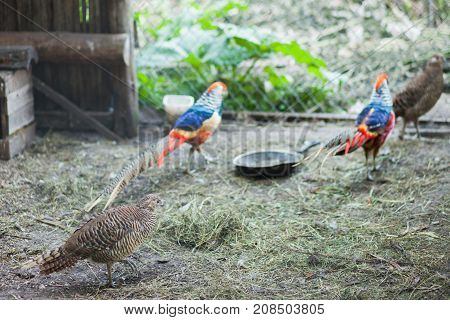 pheasants in the cage at the zoo