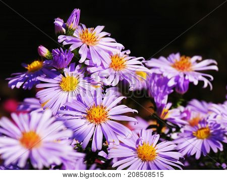 Purple aster flowers over dark background (Aster amellus)