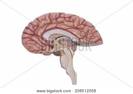 Medial side of human brain model isolated on the white background