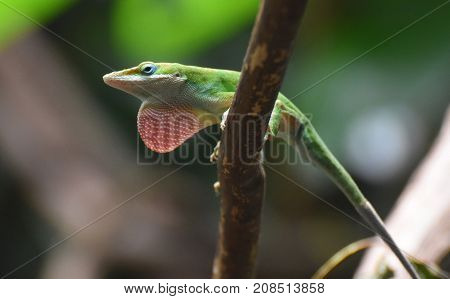 Amazing Little Red Throated Lizard in the Wild