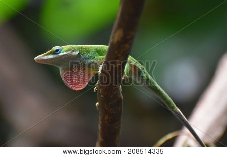 Cool Red Throated Lizard on a Branch