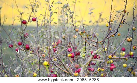 Orchard With Small Ripe Apples,