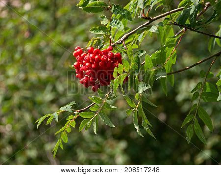 Red ashberry in the street of the city