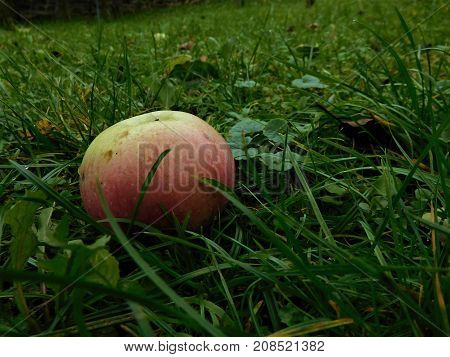 The apple who throw down from tree into grass for us. The apples are very delicious fruit.
