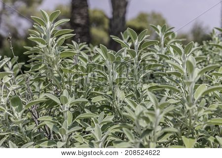 Common sage shrub plant on garden bed from side