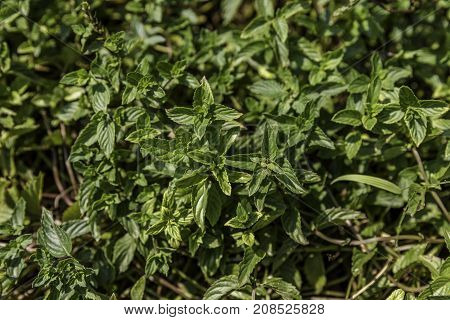 Lush green mint plant from above nature background