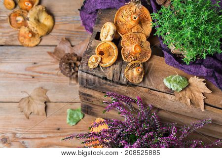 Fall Autumn Decorative Festive Thanksgiving Background With Milky Saffron Mushrooms