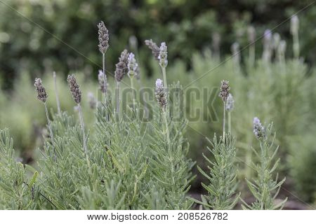 French lavender plant with silver green leaves and pale purple flowers from side