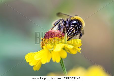 Close Up Of Beautiful Striped Bumblebee Gathering Pollen From Yellow Garden Flower. Blurred Soft Bac