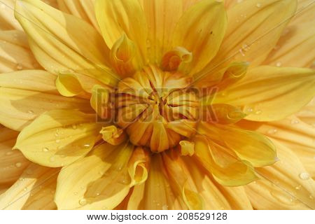 Macro of yellow dahlia. A macro image of a yellow dahlia flower.