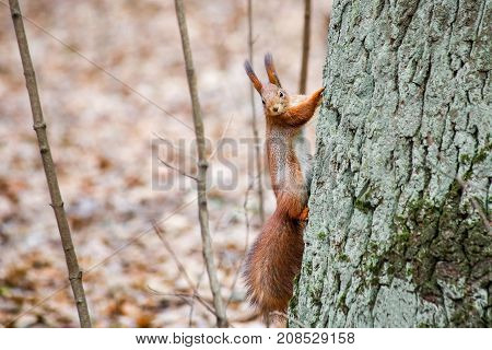 Cute fluffy squirrel climbing along big tree in city park or forest on cloudy autumn day.