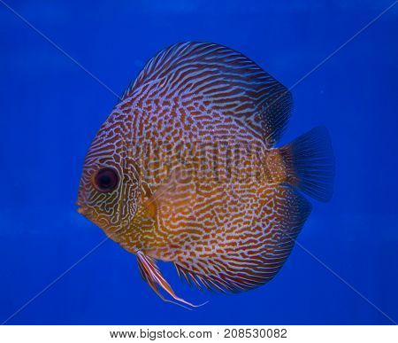 Snake skin discus fish in a blue background