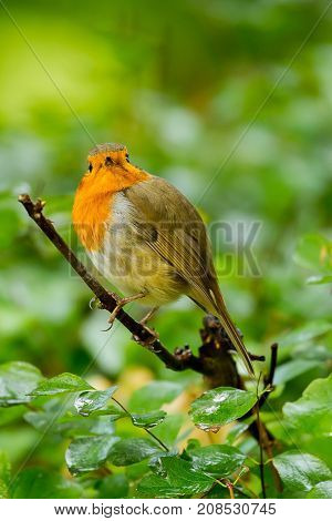 photo of a beautiful little Robin sitting on a branch
