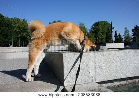Thirsty Akita Inu puppy drinking water in public fountain