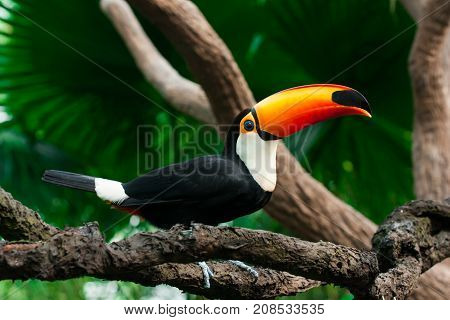 Toucan sits on a branch in the forest