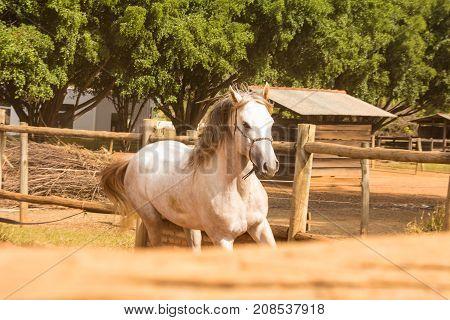Arabian purebred White Horse in a brazilian farm