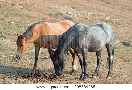 Wild Horses - Liver Chestnut Bay Roan stallion sniffing a manure stud pile next to a Buckskin Dun mare in the Pryor Mountains Wild Horse Range in Montana United States