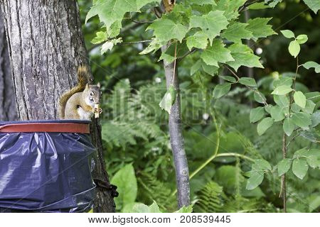 Wide view of a brown/grey squirrel chewing on some food while sitting on a plastic garbage container attached to a trees with greenery at Pabineau Falls near Bathurst, New Brunswick on a bright sunny day with blue skies and clouds in August.