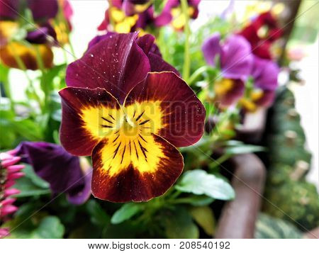 The purple violet in our flowerpot for the best decoration on everywhere in your home
