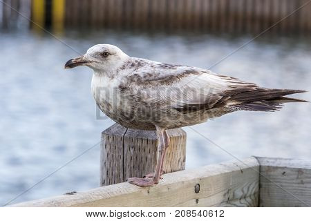 seagull with brown markings on wood wharf; Bonavista, Newfoundland