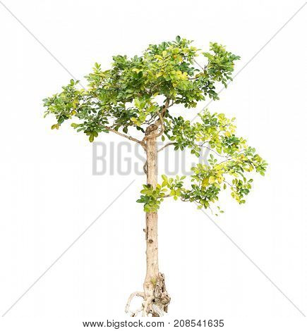 bonsai on isolated on white background