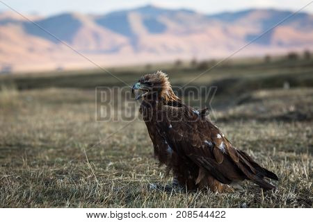 Young golden eagle sits on the Mongolian steppe.