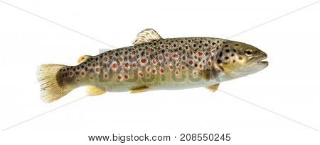 Brown trout swimming, isolated on white