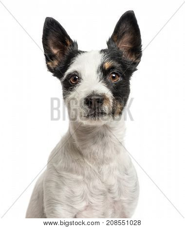 Close-up of a jack Russell, isolated on white