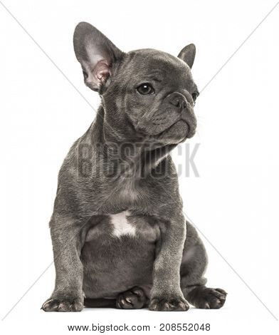 Puppy grey french bulldog sitting, looking-up isolated on white