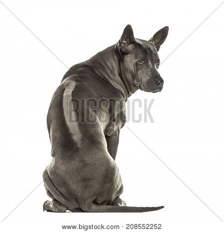 Back view of a Rhodesian ridgeback looking backwards, isolated on white