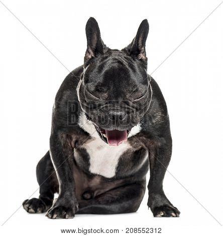 French Bulldog sitting and yawning, isolated on white
