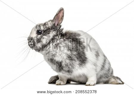 White and grey dwarf rabbit, isolated on white