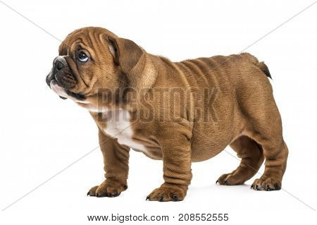 Guilty puppy English bulldog pup, isolated on white