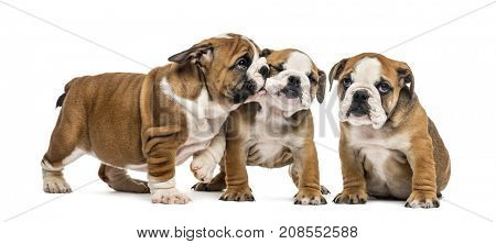 Bulldog puppies cuddling, isolated on white