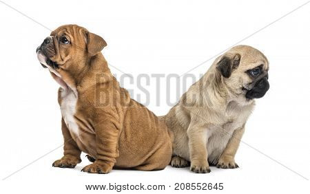 Pug and English bulldog pup looking in opposite direction, isolated on white