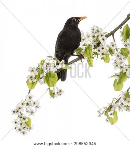 common blackbird perched on a flowering branch, isolated on white