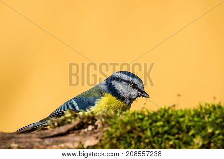 Colorful Male Blue-tit Hidden Behind Twig Covered By Moss